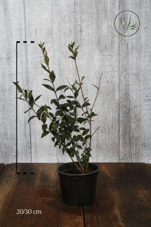 Gewone Liguster   Pot 20-30 cm