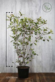 Glansmispel 'Red Robin' Pot 125-150 cm