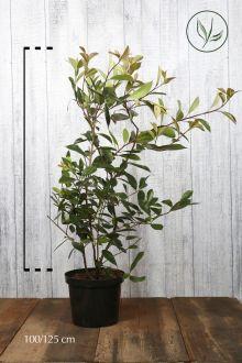 Glansmispel 'Red Robin' Pot 100-125 cm Extra kwaliteit