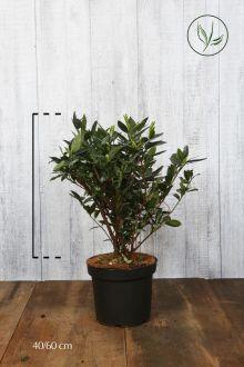 Laurier 'Otto Luyken' Pot 40-50 cm Extra kwaliteit