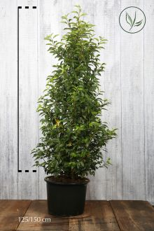 Portugese Laurier Pot 125-150 cm Extra kwaliteit