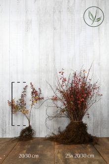 Rode Zuurbes Blote wortel 20-30 cm