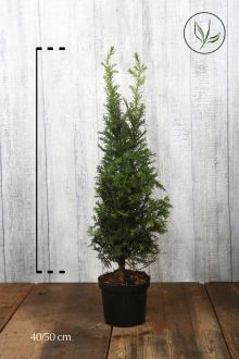 Taxus baccata Pot 40-50 cm Extra kwaliteit