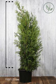 Reuzenlevensboom 'Excelsa' Pot 150-175 cm Extra kwaliteit