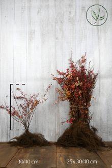 Rode Zuurbes Blote wortel 30-40 cm