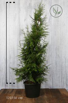 Reuzenlevensboom 'Excelsa' Pot 125-150 cm Extra kwaliteit