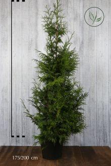 Reuzenlevensboom 'Excelsa' Pot 175-200 cm Extra kwaliteit