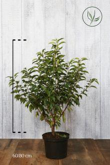 Portugese Laurier Pot 60-80 cm