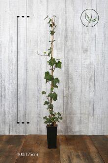 Ierse klimop Pot 100-125 cm