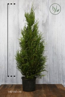 Reuzenlevensboom 'Atrovirens' Pot 140-160 cm Extra kwaliteit