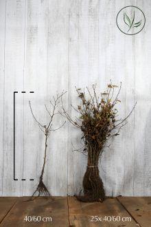 Haagbeuk Blote wortel 40-60 cm Extra kwaliteit