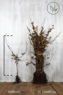 Haagbeuk Blote wortel 60-80 cm