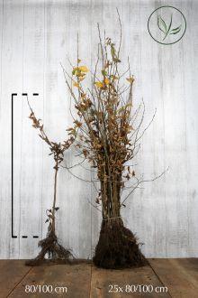 Haagbeuk Blote wortel 80-100 cm Extra kwaliteit