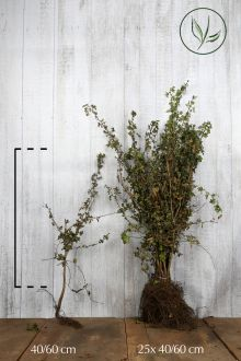 Meidoornhaag Blote wortel 40-60 cm