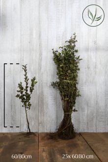 Meidoornhaag Blote wortel 60-80 cm
