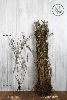 Vlinderstruik 'Empire Blue'  Blote wortel 40-60 cm
