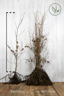 Haagbeuk Blote wortel 100-125 cm Extra kwaliteit