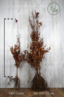 Rode beuk Blote wortel 100-125 cm Extra kwaliteit