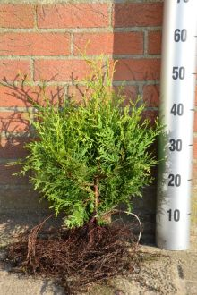 Westerse Levensboom 'Brabant' Blote wortel 30-40 cm