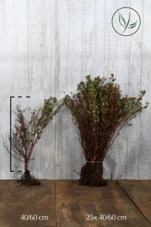 Heesterganzerik 'Goldfinger' Blote wortel 40-60 cm