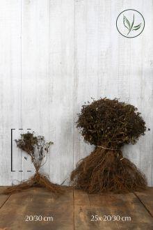 Japanse spierstruik 'Genpei' Blote wortel 20-30 cm