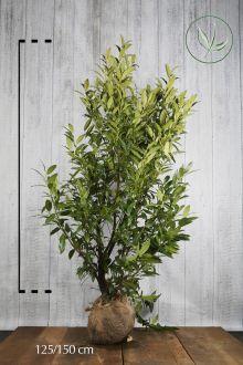Laurier 'Herbergii'  Kluit 125-150 cm Extra kwaliteit