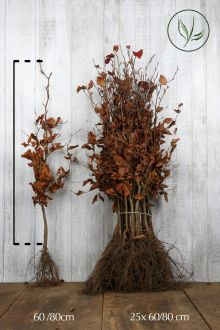 Rode beuk Blote wortel 60-80 cm Extra kwaliteit
