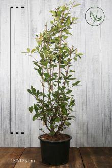 Glansmispel 'Red Robin' Pot 150-175 cm Extra kwaliteit