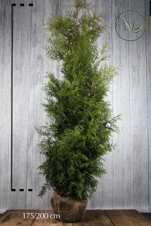 Westerse Levensboom 'Brabant' Kluit 175-200 cm Extra kwaliteit