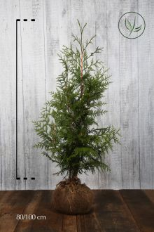 Reuzenlevensboom 'Excelsa' Kluit 80-100 cm