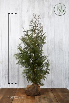 Reuzenlevensboom 'Excelsa' Kluit 100-125 cm