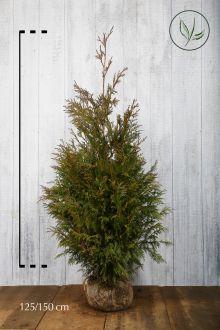 Reuzenlevensboom 'Excelsa' Kluit 125-150 cm