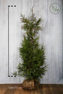 Reuzenlevensboom 'Excelsa' Kluit 150-175 cm