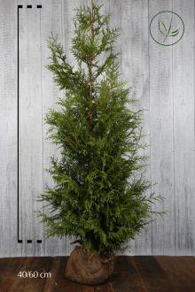 Reuzenlevensboom 'Excelsa' Kluit 175-200 cm