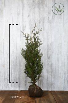 Reuzenlevensboom 'Atrovirens' Kluit 100-125 cm