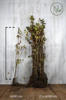 Gele Kornoelje Blote wortel 60-80 cm