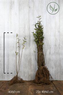 Gewone Liguster   Blote wortel 40-60 cm