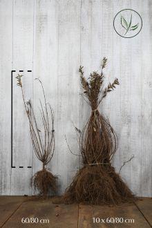 Gewone Liguster   Blote wortel 60-80 cm
