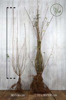 Gewone Liguster   Blote wortel 80-100 cm