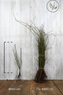 Hondsroos Blote wortel 40-60 cm
