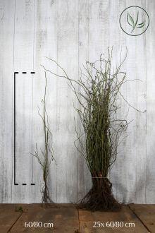 Hondsroos Blote wortel 60-80 cm