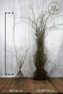 Hondsroos Blote wortel 80-100 cm