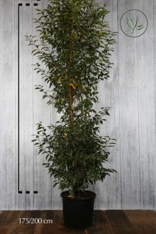 Portugese Laurier Pot 175-200 cm Extra kwaliteit
