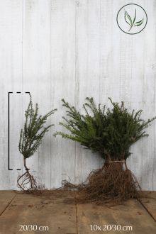 Taxus baccata Blote wortel 20-30 cm