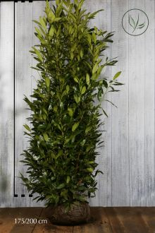 Laurier 'Herbergii'  Kluit 175-200 cm Extra kwaliteit