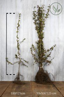 Meidoornhaag Blote wortel 100-125 cm