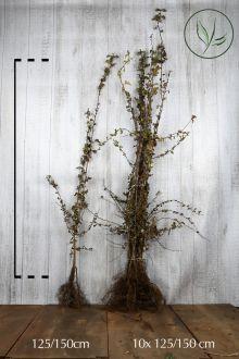 Meidoornhaag Blote wortel 125-150 cm