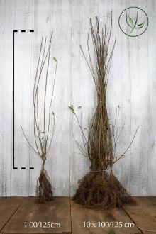 Gewone Liguster   Blote wortel 100-125 cm
