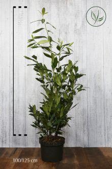 Laurier 'Herbergii'  Pot 100-125 cm