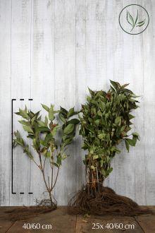 Weigela 'Bristol Ruby'  Blote wortel 40-60 cm